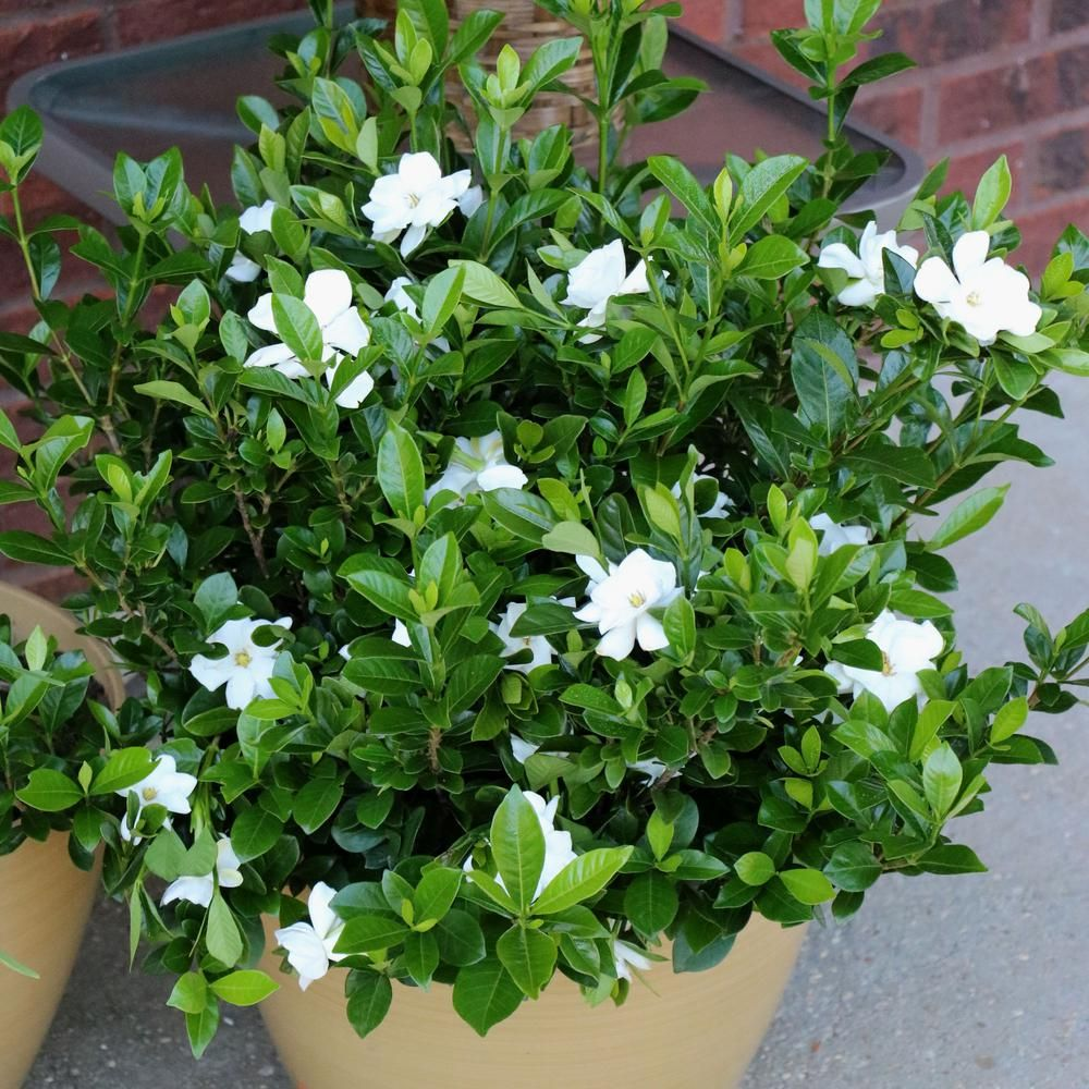 national PLANT NETWORK 2.5 qt. Gardenia Radicans Flowering