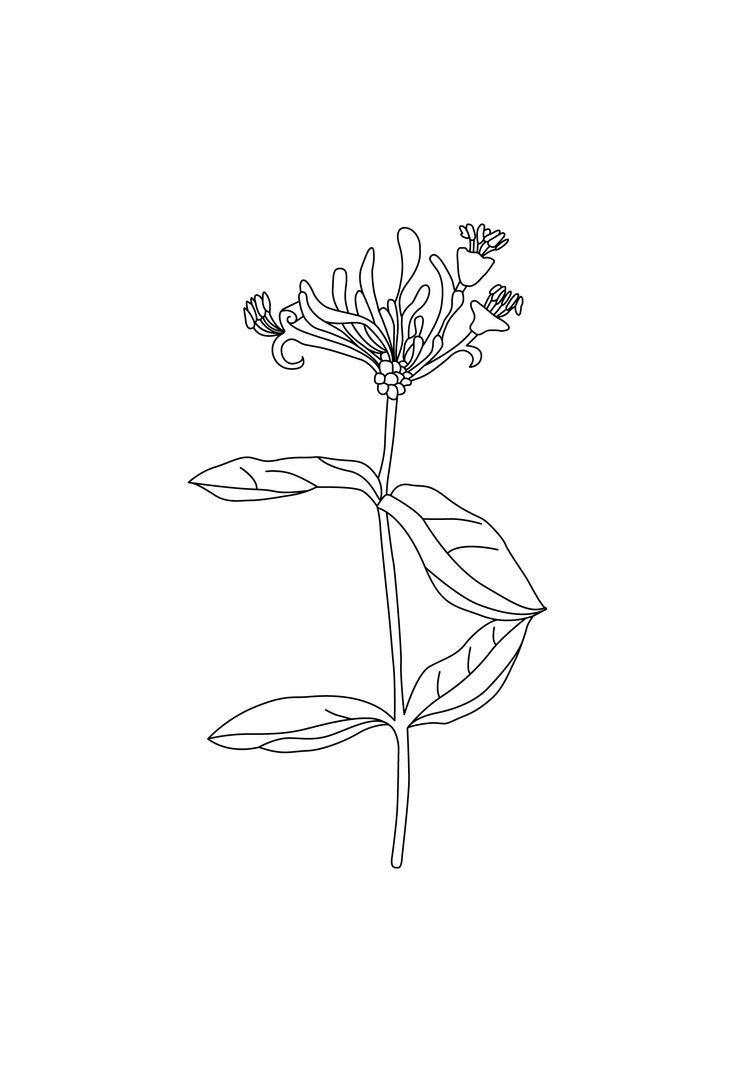 Camille Co Ginger Amp Wild Honeysuckle Botanical Drawing By Design By Cheyney Honeysuckle Tattoo Flower Tattoo Wild Honeysuckle