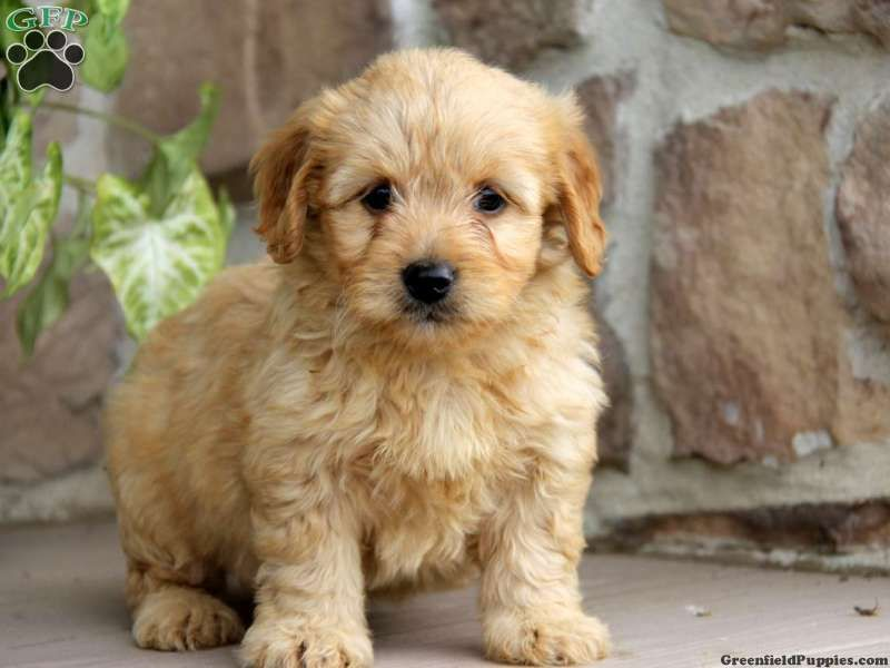 Rose, Miniature Goldendoodle Puppy For Sale from