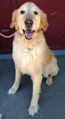 Retrievers And Friends Of Southern California Golden Retriever Retriever Dog Adoption