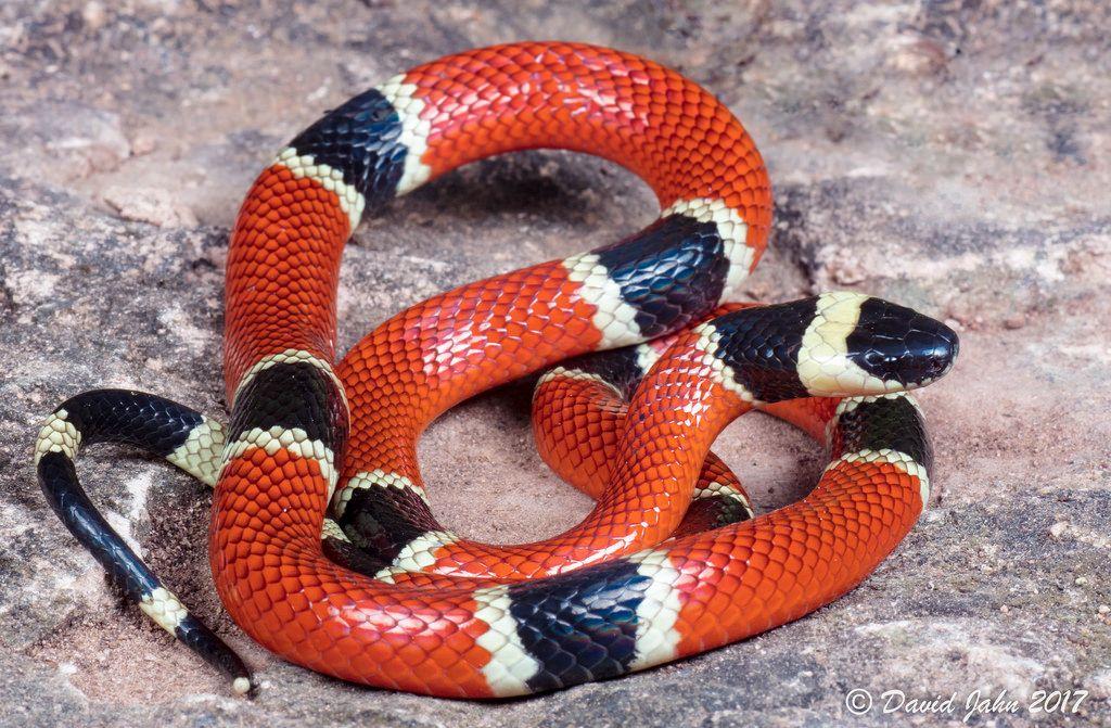 Cobra Coral Micrurus Corallinus Com Imagens Serpentes
