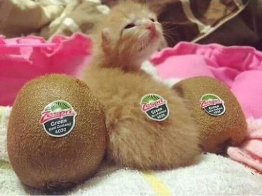 Chaton Et Kiwis Chat Pinterest Humor Cat And Animal