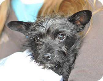 Colorado Springs Co Terrier Unknown Type Small Mix Meet Cabo A Puppy For Adoption Http Www Adoptapet Com Pet 1261110 Puppy Adoption Terrier Adoption