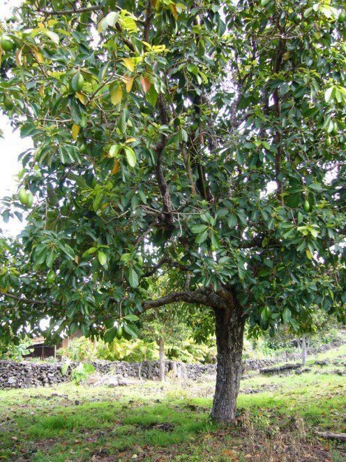 How To Grow Avocado From Seed Or Pit Avocado Plant Grow Avocado Growing An Avocado Tree