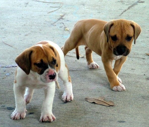American Bulldog Dog Breed American Bulldog Puppies Bulldog Puppies American Bulldog
