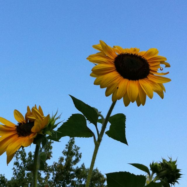 My Sunflowers