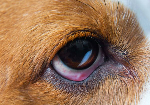 What Causes Eye Boogers In Dogs Dogs Eyes Problems Dog Eyes Dogs