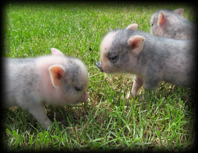 best 25  pet pigs ideas on pinterest