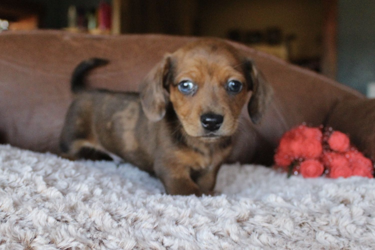 Red dapple shorthair miniature dachshund puppy at muddy river