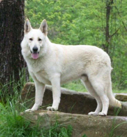 White German Shepherd Large White German Shepherds White