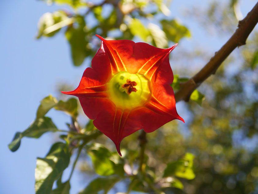 Знакомьтесь Абелиея крупноцветковая