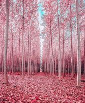 Would you like to walk through a pink forest  Follow theplanetwonders around Would you like to walk through a pink forest  Follow theplanetwonders around