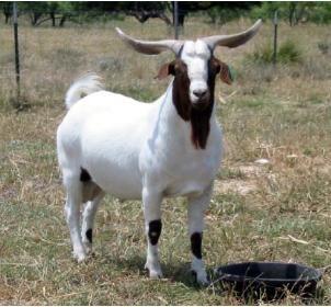 R Goats Texmaster - Boe...