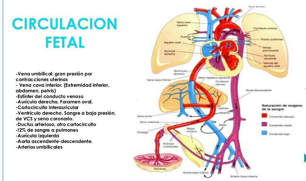 Famoso La Anatomía Del Corazón De Cerdo Fetal Componente - Anatomía ...