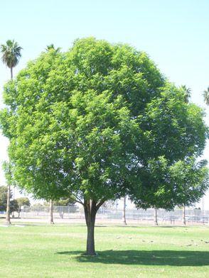 Shamel Ash   Trees   Shade trees, Garden yard ideas ...