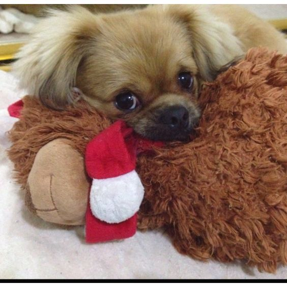 My little Tibetan Spaniel Gizmo and his fav teddy bear