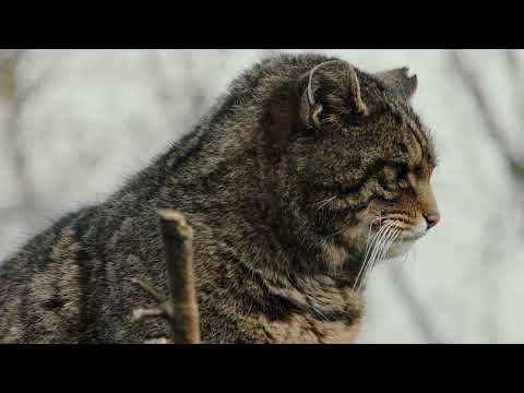 The Last Highland Tiger - YouTube