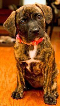 Plott hound puppies #plotthound Plott hound puppies #plotthound