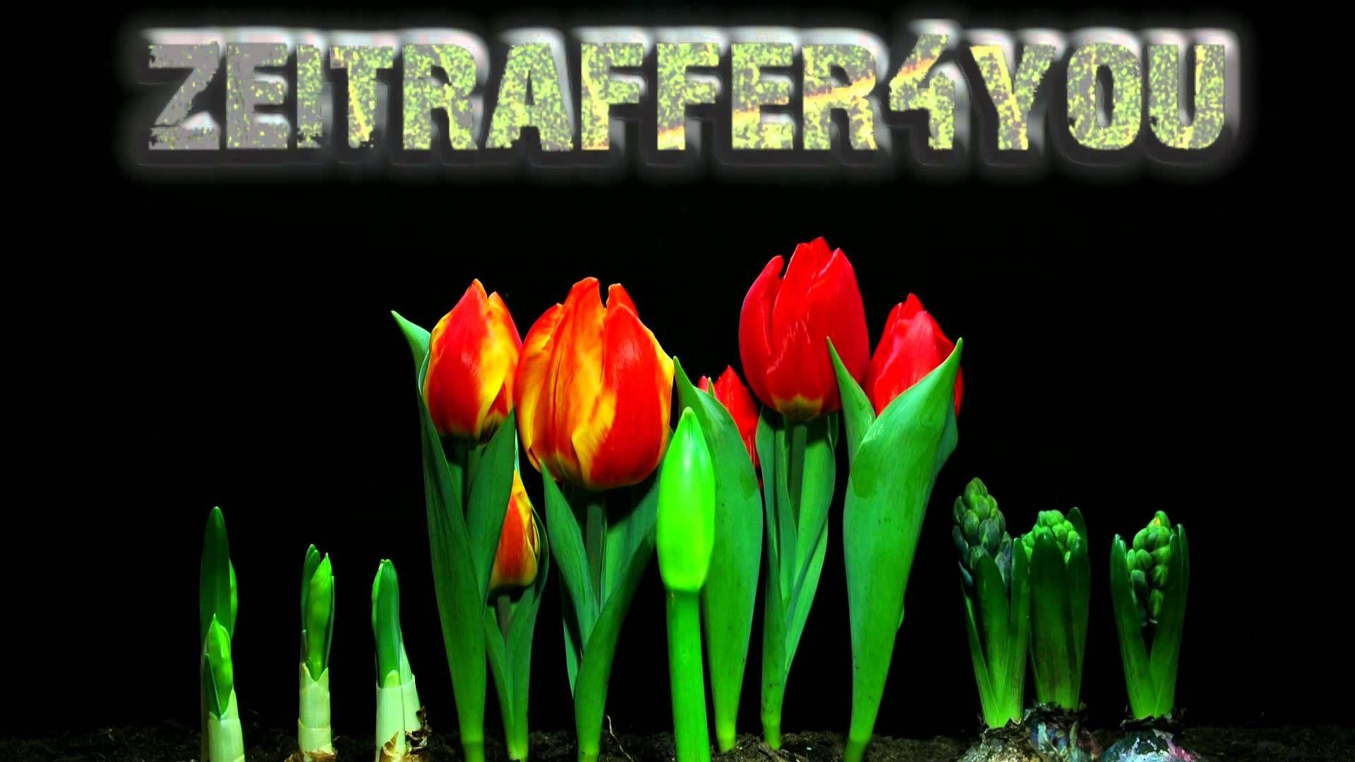 Tulpe Hyacinthe Timelapse Zeitraffer tulip