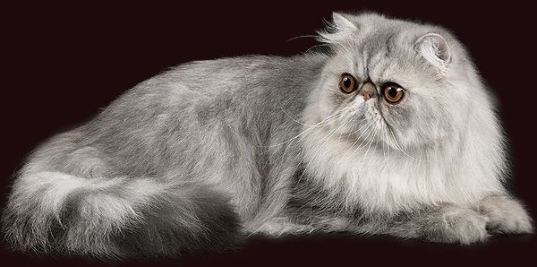 persian cats grey | Cat | Pinterest | Persian cats and Cat
