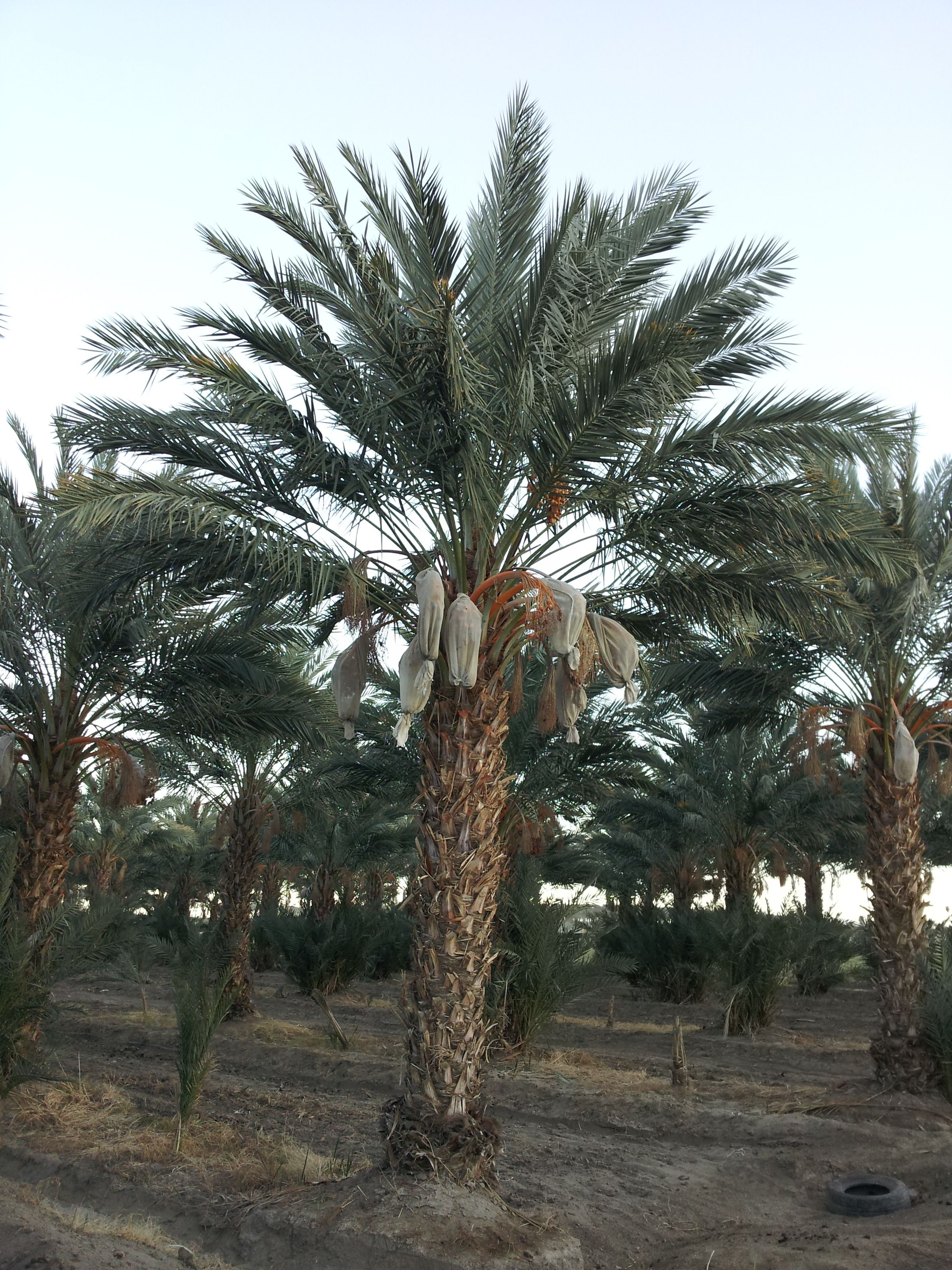 date palm tree picture date palms palm trees pinterest palm
