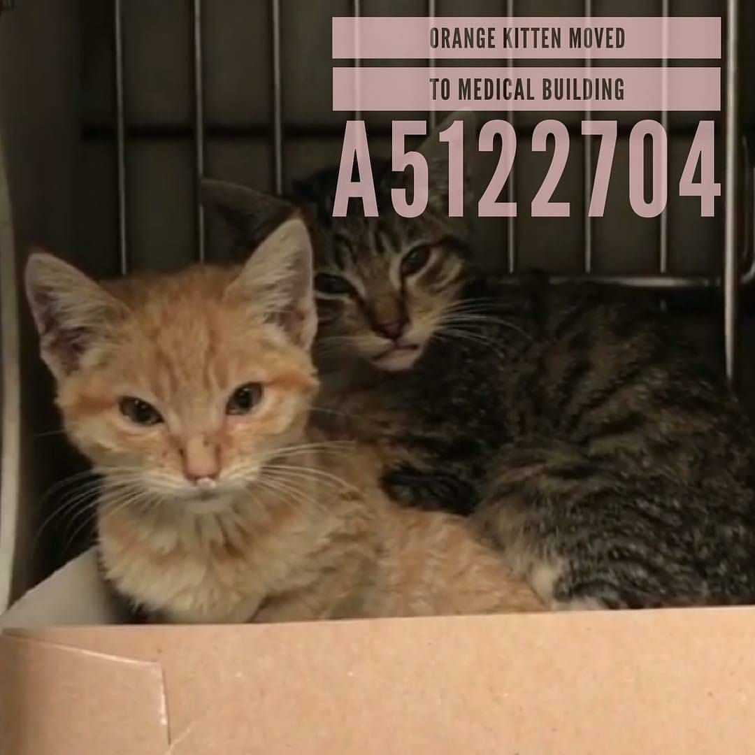 Urgent Needs Out Now From Downey Animal Shelter 11258 Garfield Ave Downey Ca Phone 562 940 6898 A5122704 Is In Cage Orange Kittens Cat Shelter Animals