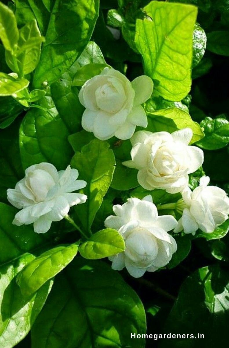 How to Grow and Care for Jasmine Plant? - Home Gar