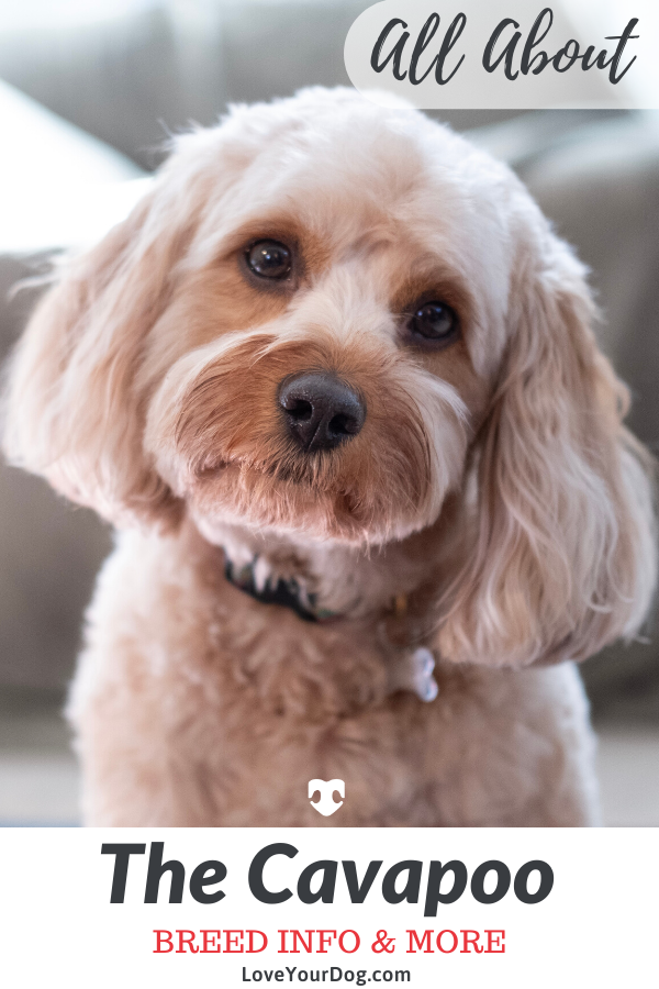 Cavapoo Dog Breed Information Traits, Size, Puppy Prices