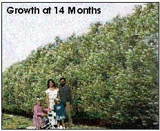 Ameri-Willow fast growing nursery trees for privacy screens and ...