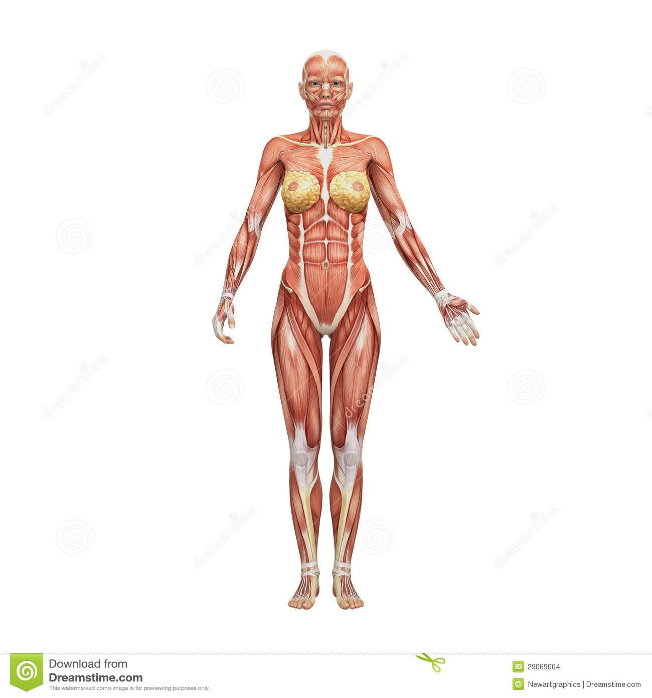 Athletic female human anatomy and muscles | Anatomy Ref | Pinterest