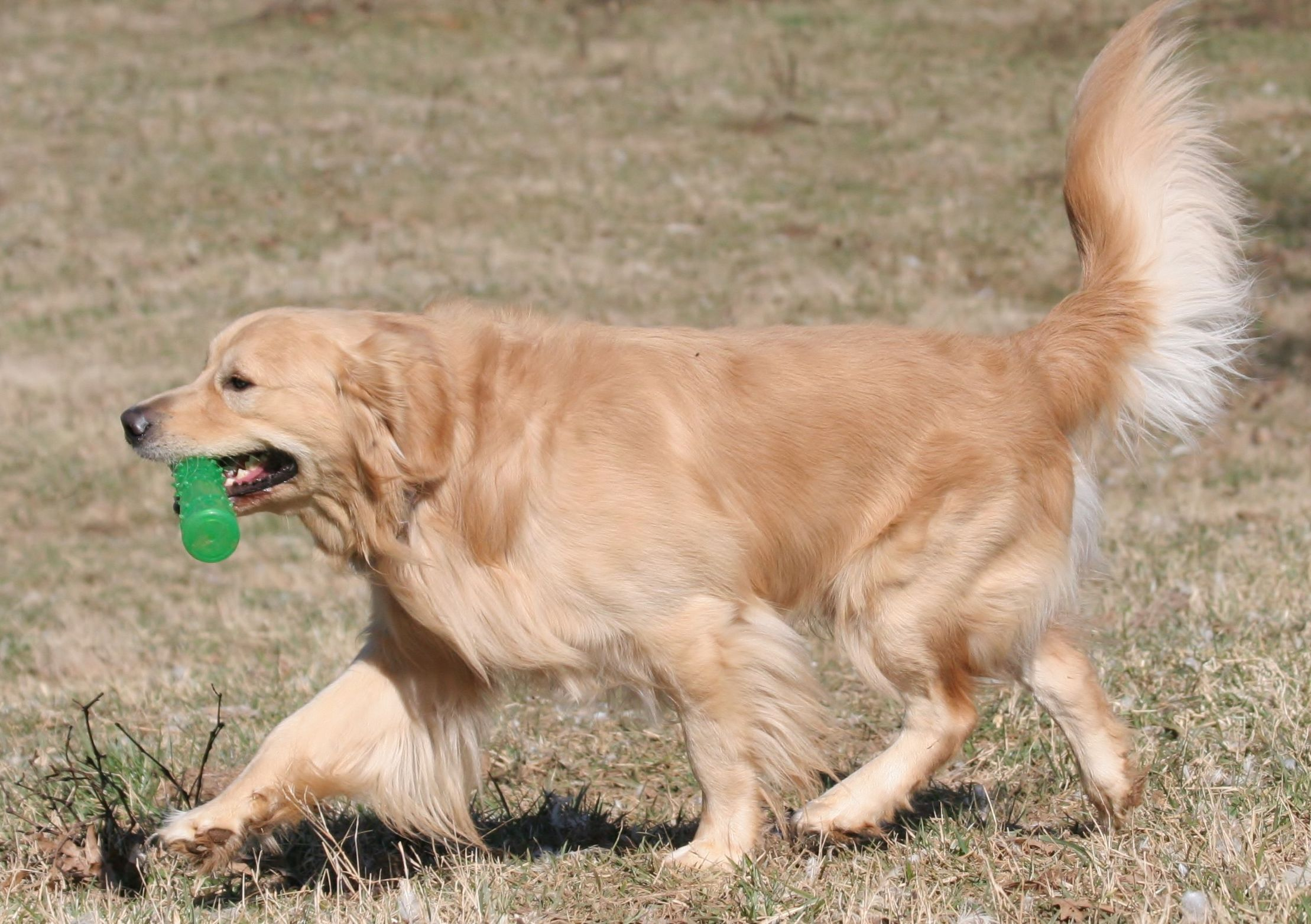 02/2015 Houston Ranch (With images) Golden retriever