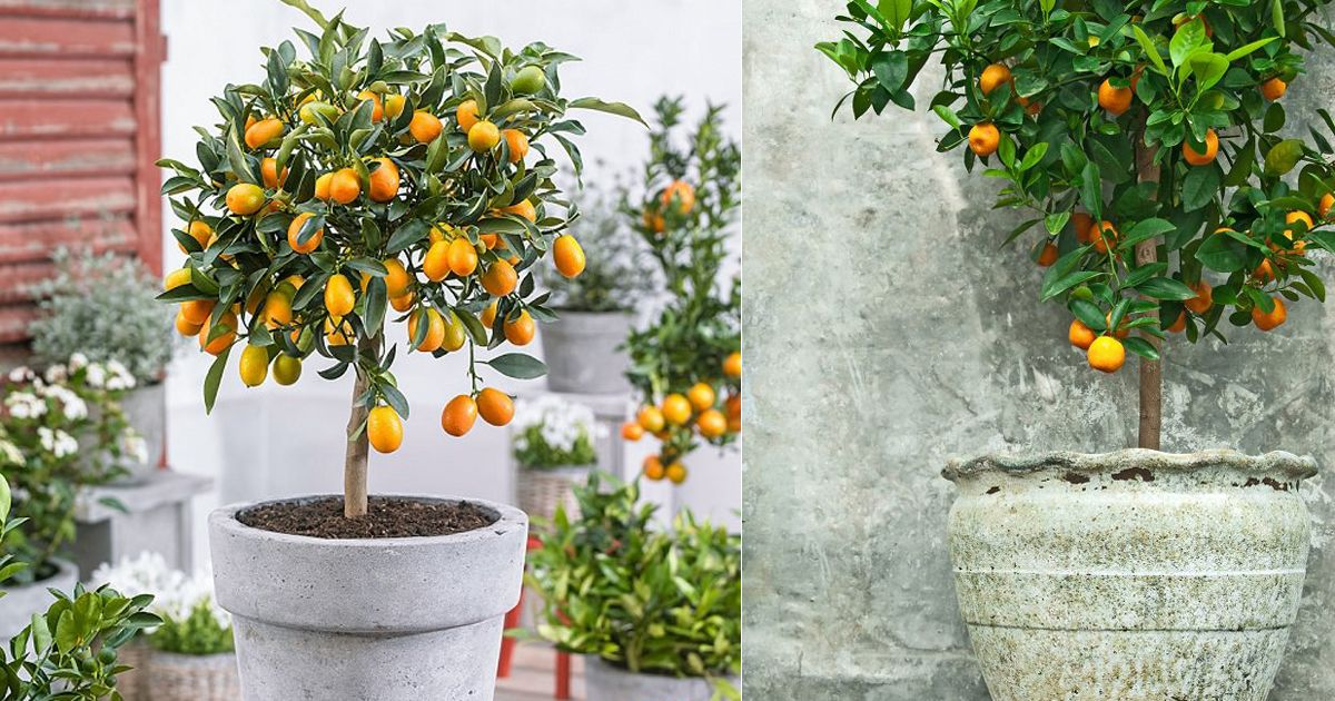 5 Best Citrus Trees For Containers Growing Citrus In Pots Growing Citrus Citrus Trees Citrus Plant