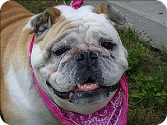 Pin By Barry Stritton On Bull Dogs Pets Dogs English Bulldogs