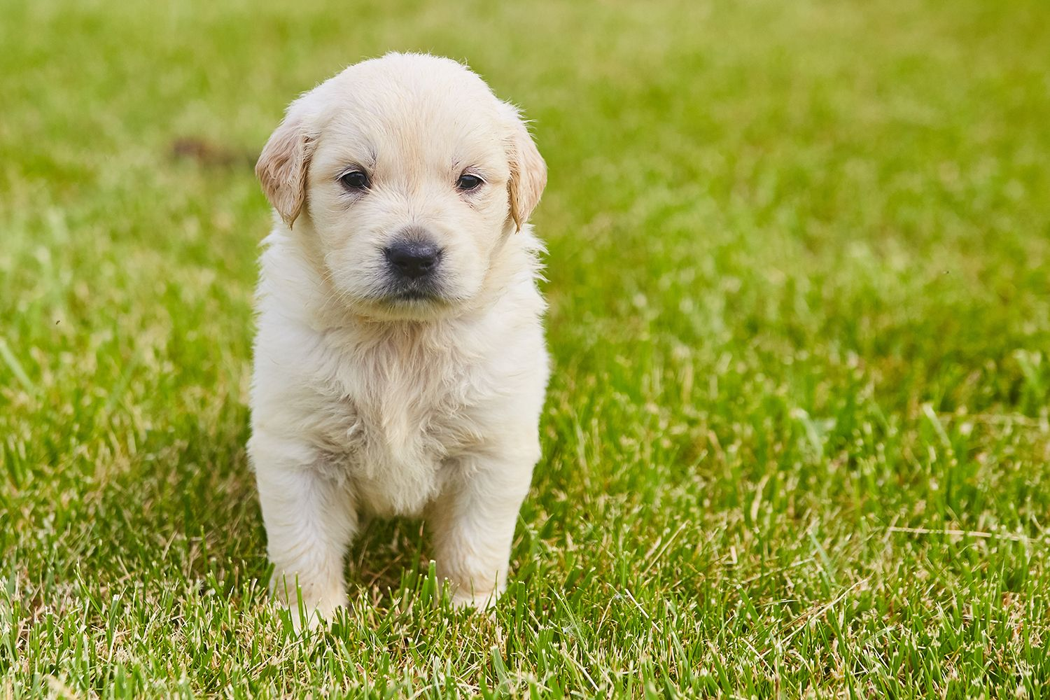 We Still Have An Akc Golden Retriever Puppy From Keylime S Litter