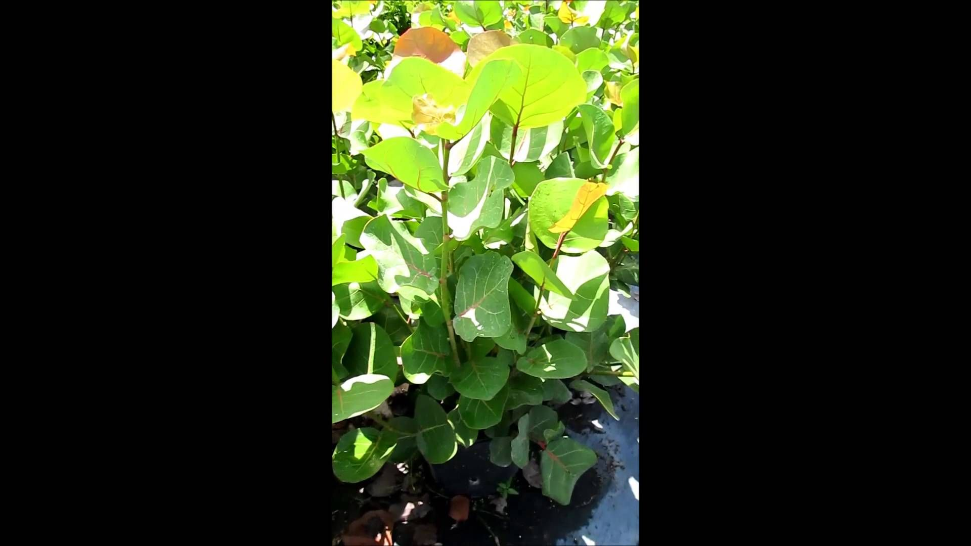 7 Gallon Podocarpus Maki   Sea Grape Plants - (786).255.2832 - We ...