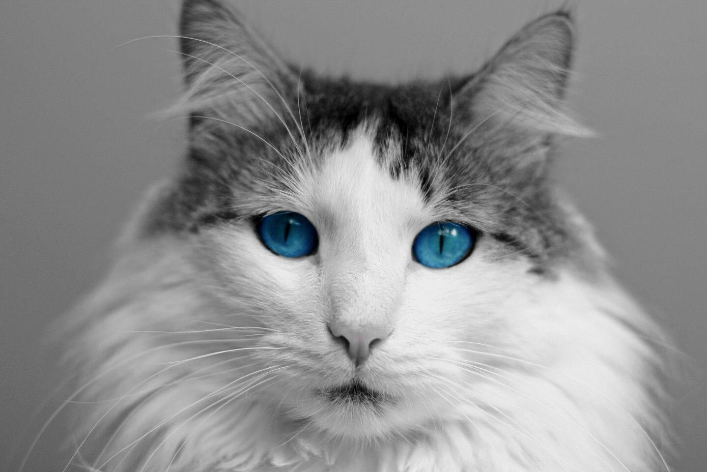 Pin by Gledisa Rr on Animals Cat with blue eyes, Cats