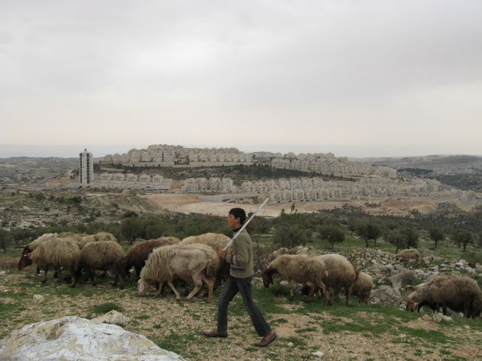 Sheep of biblical Isreal | shepherd boy on a hill tending to his sheep outside of Bethlehem ...