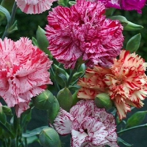 Carnation Chabaud Picotee Mix Flower Seeds Dianthus Caryophyllus 50 Seeds Flower Seeds
