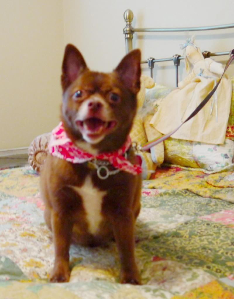 Adopted Meet Coco Bear A Petfinder Adoptable Schipperke Dog