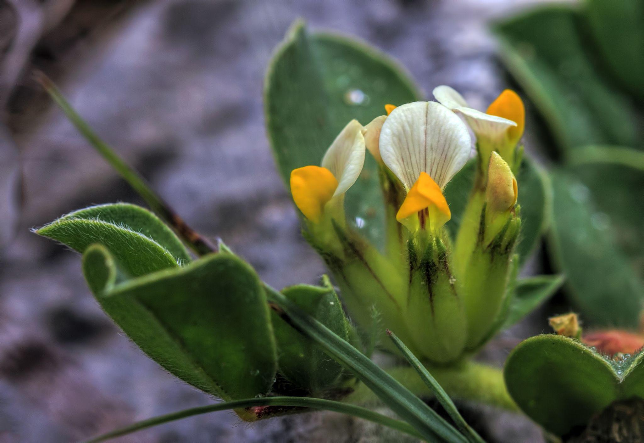 Anthyllis tetraphylla, a ras del suelo by Pedro Francisco  Condés de la Torre on 500px