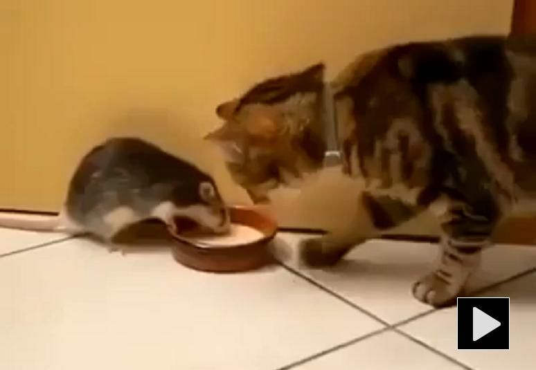 Real Life Tom And Jerry Funny Cat Rat Video Cute Cat Gif Cat Gif Funny Cat Videos