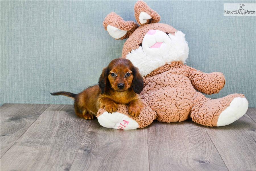 Dachshund Puppy For Sale Near Columbus Ohio B91e762e C601