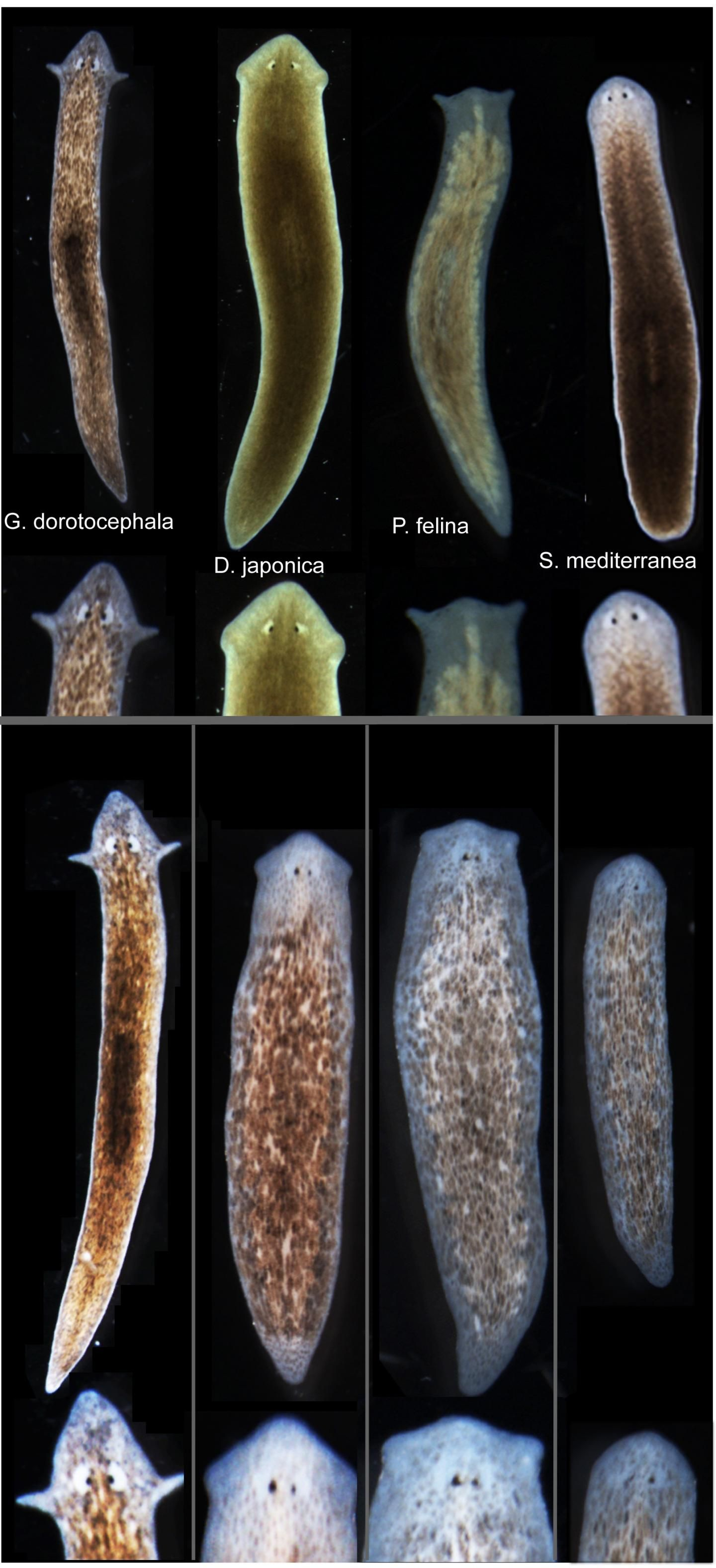 Tufts Biologists Induced One Species Of Flatworm G Dorotocephala