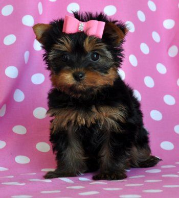 I Want A Dog Like This Teacup Yorkie Puppy Yorkie Puppy Cute Baby Animals