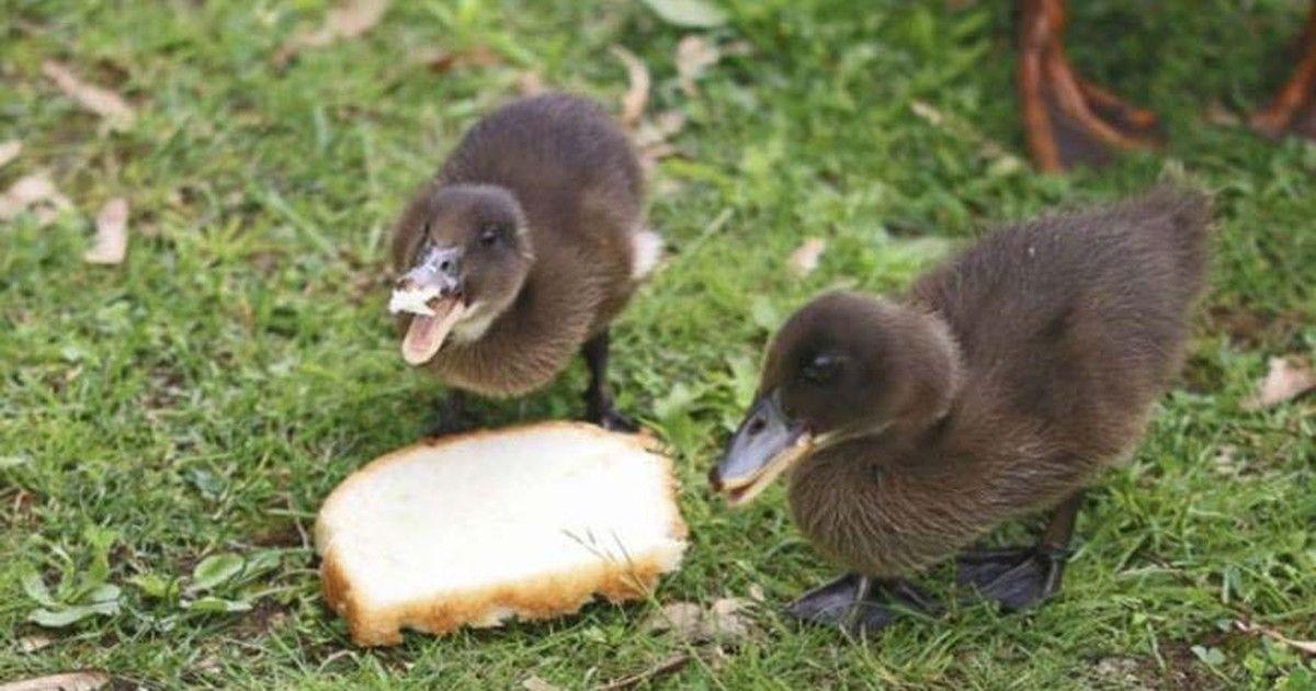 Dar migalhas de pão a patos pode prejudicar ecossistemas, dizem especialistas