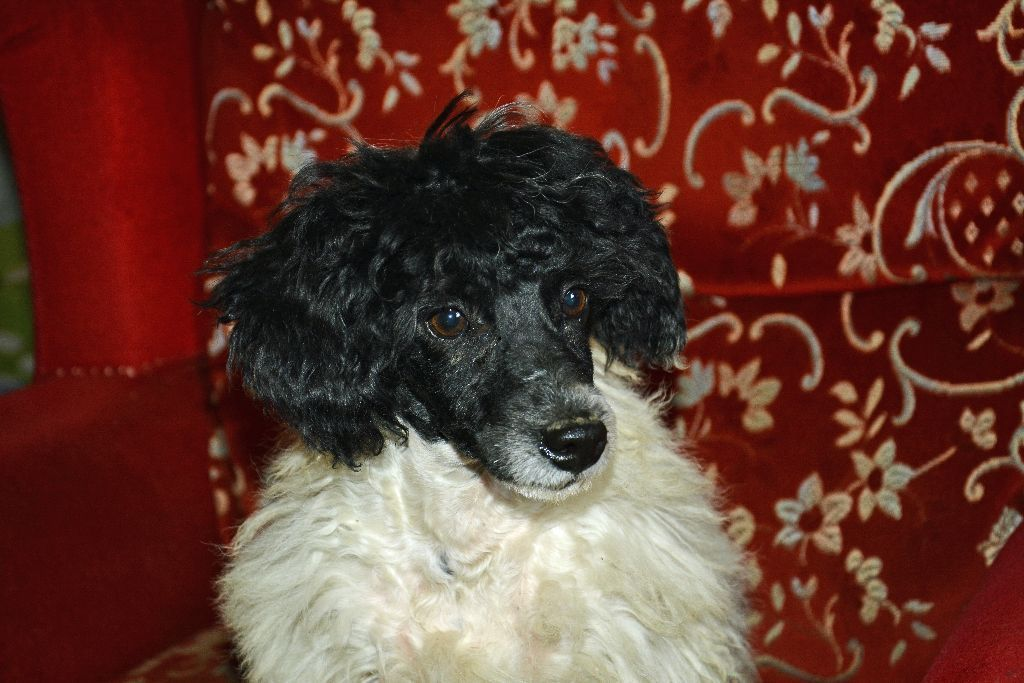 older poodle puppy for sale Cornwall Gumtree Poodle