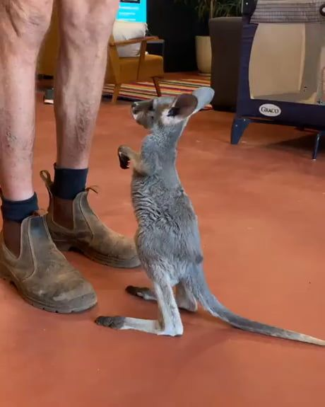 Little kangaroo has already learned how to jump in