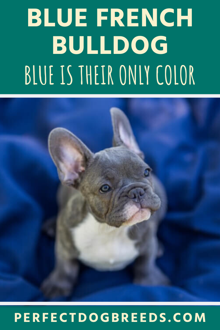 Blue French Bulldog Colors in 2020 French bulldog blue