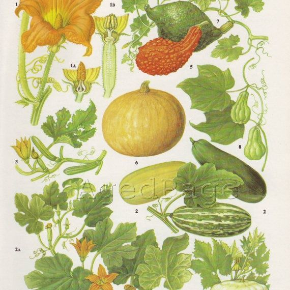 VINTAGE SQUASH ILLUSTRATIONS | Vintage Plant Illustration Botanical Chart Wall by AgedPage, $10.00
