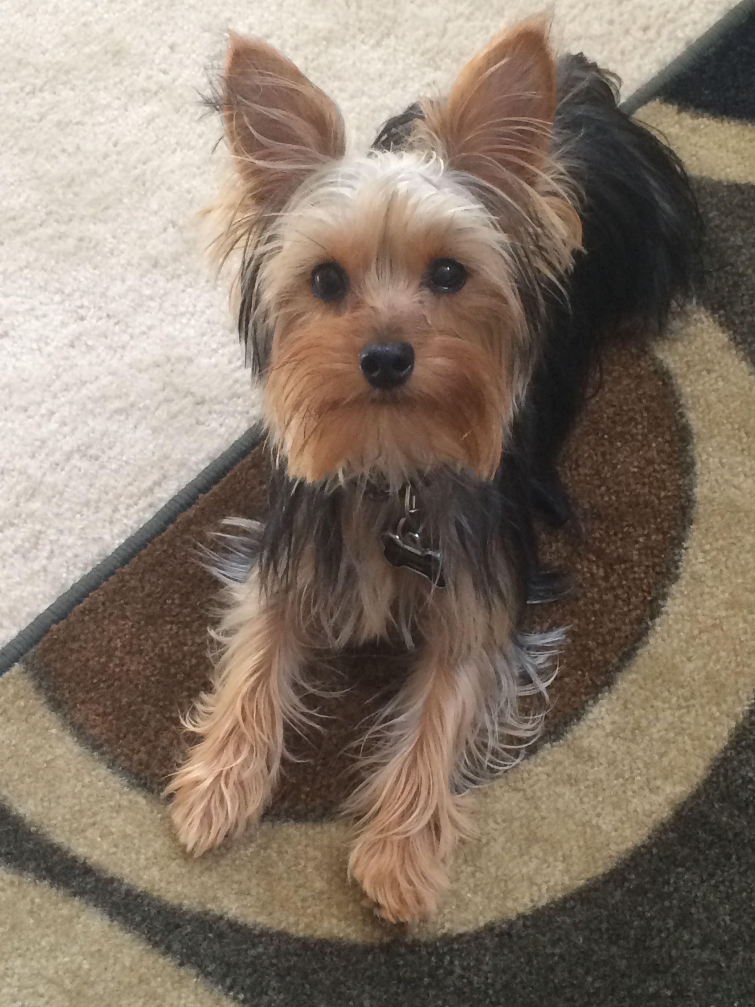 Toy yorkie | Silky terrier, Toy yorkie, Yorkie